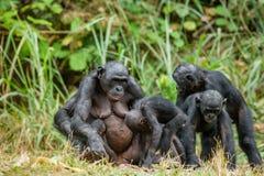 Porträt der Familie eines Schimpanse Bonobo (Pan-paniscus) Lizenzfreie Stockbilder