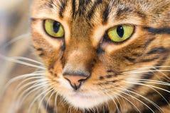 Porträt der Farbe der Katzenbraunmakrelen-getigerten Katze, Nahaufnahme Stockfoto