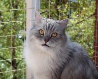 Porträt der flaumigen grauen Katze auf Hintergrund der Backsteinmauer Stockfotos