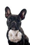 Porträt der französischen Bulldogge lizenzfreies stockbild