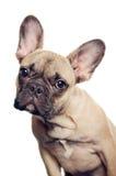 Porträt der französischen Bulldogge lizenzfreie stockfotos