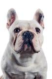Porträt der französischen Bulldogge lizenzfreie stockbilder