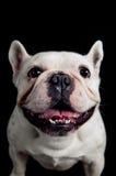 Porträt der französischen Bulldogge lizenzfreies stockfoto