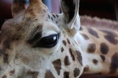 Porträt der Giraffe lizenzfreie stockfotografie