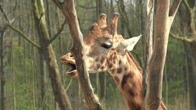Porträt der Giraffe essend von den hohen Bäumen stock footage