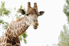 Porträt der Giraffe, Safari Park Taigan, Krim Stockfotografie