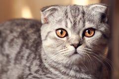 Porträt der grauen Katze stockbilder