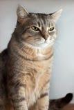 Porträt der Hauskatze Lizenzfreies Stockfoto