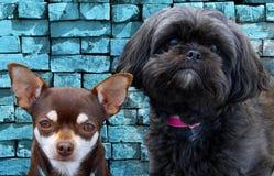 Porträt der 2 Hundeaufstellung Stockfoto