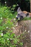 Porträt der Hyäne im Zoo Khao Kheow Stockbilder