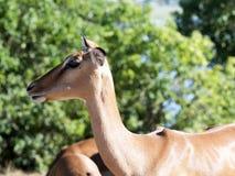 Porträt der Impala, Aepyceros melampus, Nationalpark Chobe, Botswana Stockfotografie