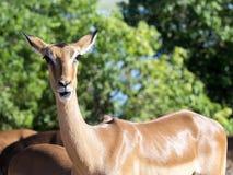 Porträt der Impala, Aepyceros melampus, Nationalpark Chobe, Botswana Lizenzfreie Stockbilder