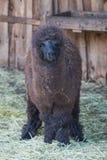 Porträt der jungen braunen Lamastellung im Stroh stockbilder