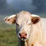 Porträt der jungen weißen Kuh Stockfotos