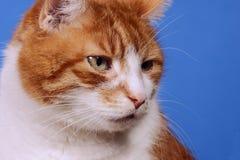 Porträt der Katze Lizenzfreies Stockbild