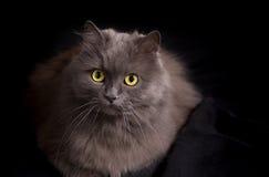 Porträt der Kreuzung der sibirischen und persischen Katze auf einem schwarzen Hintergrund Stockbilder