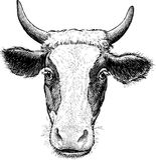 Porträt der Kuh Stockfotos