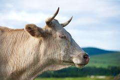 Porträt der Kuh auf alpiner ökologisch sauberer Weide im Sommer Stockbild