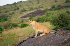 Porträt der Löwin Stockfotografie