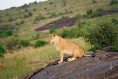Porträt der Löwin Stockbild