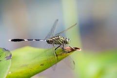 Porträt der Libelle - grünes Abstreicheisen Stockbild