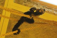 Porträt der lustigen Kapuzineraffe fängt an den Zoo ein, der die Kamera beim Essen seines Lebensmittels betrachtet Lizenzfreie Stockfotografie