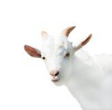 Porträt der lustigen Ziege, lokalisiert Lizenzfreie Stockfotos