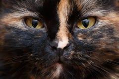 Porträt der mürrischen Katzennahaufnahme lizenzfreie stockfotografie