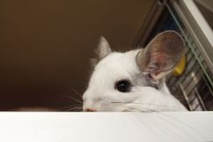 Porträt der netten Chinchilla der weißen Farbe in seinem Haus stockbild