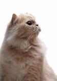 Porträt der persischen Katze Lizenzfreie Stockfotos