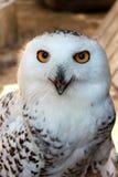 Porträt der polaren Eule des weißen Schnees mit gelben Augen, vertikale Ansicht stockfotos
