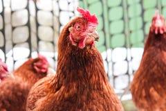 Porträt der roten Henne stockfotos