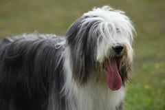 Porträt der schönen Bearded Collie stockbild