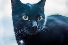 Porträt der schwarzen Katze Lizenzfreie Stockfotos