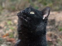 Porträt der schwarzen Katze Stockbild