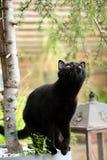 Porträt der schwarzen Katze des Britisch Kurzhaars unter Niederlassungen stockfotos