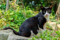 Porträt der schwarzen Katze, die weißes Dreieck auf seinem Gesicht auf hat Stockbilder