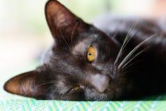 Porträt der schwarzen Katze legen sich hin und Kamera schauend Stockfotos