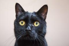 Porträt der schwarzen Katze lokalisiert lizenzfreies stockbild