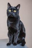 Porträt der schwarzen Katze lokalisiert lizenzfreies stockfoto
