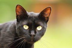 Porträt der schwarzen Katze mit großen grünen Augen Stockbild