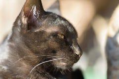 Porträt der schwarzen Katze nach etwas suchend Lizenzfreies Stockfoto