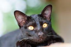 Porträt der schwarzen Katze nach etwas suchend Stockfotografie
