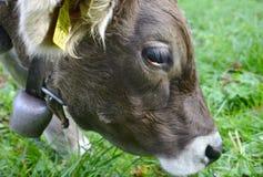 Porträt der Schweizer Milchkuh stockbild