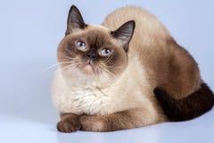 Porträt der siamesischen Katze Stockfoto