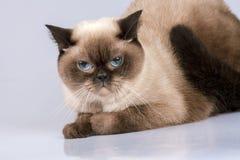 Porträt der siamesischen Katze Lizenzfreie Stockbilder