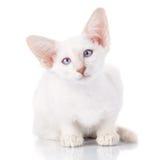 Porträt der siamesischen Katze des Blau-Punktes Stockbild