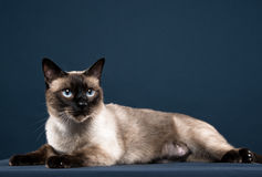 Porträt der siamesischen Katze im dunkelblauen Hintergrund Lizenzfreies Stockfoto