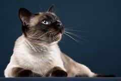 Porträt der siamesischen Katze im dunkelblauen Hintergrund Lizenzfreie Stockbilder