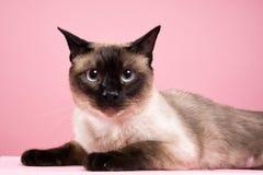 Porträt der siamesischen Katze im dunklen rosa Hintergrund Stockfotografie